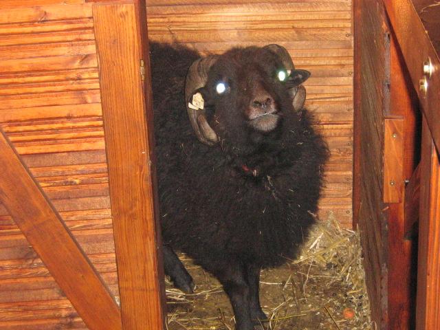 Das schwarze Schaf ...