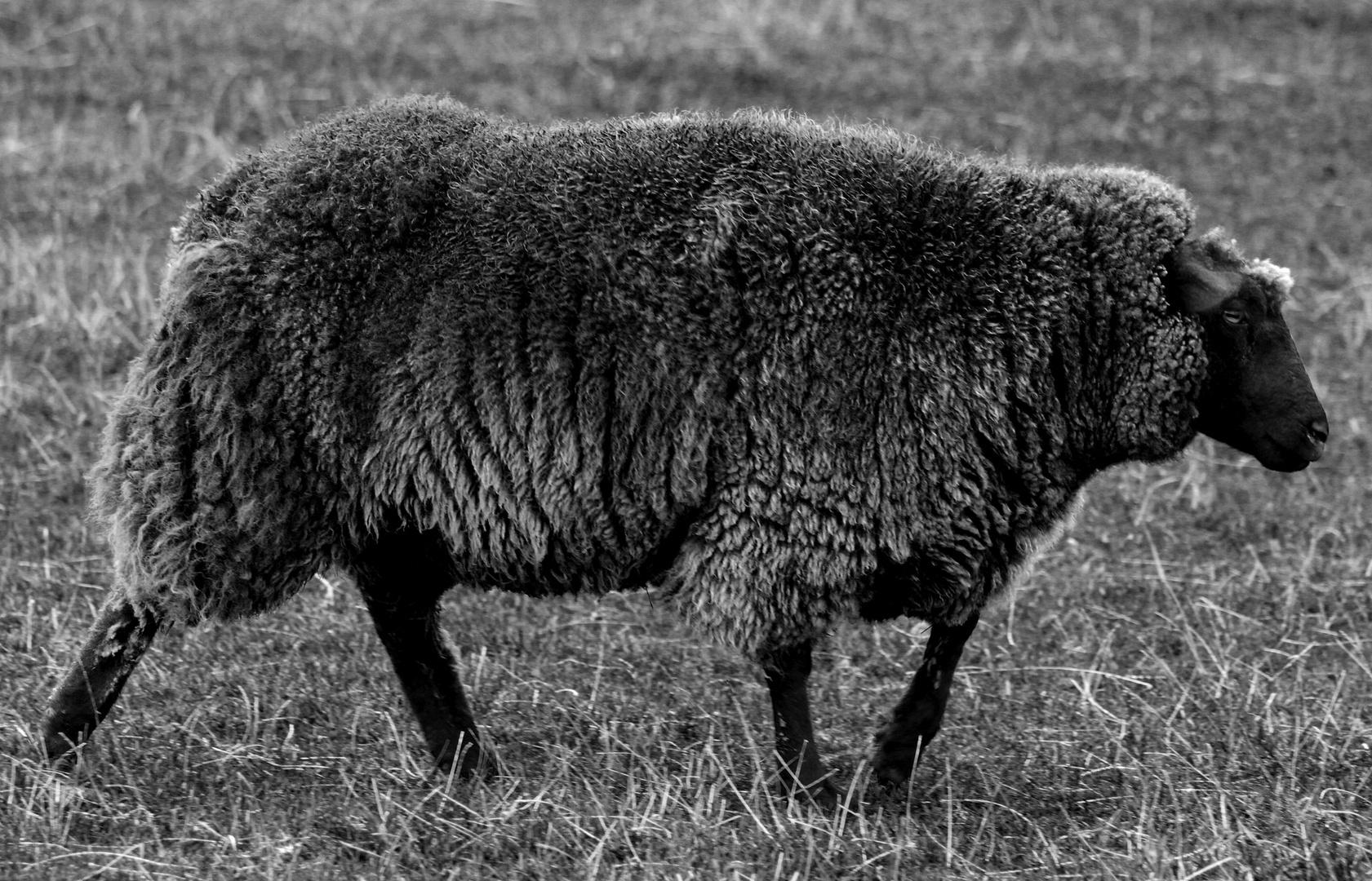 Das schwarze Schaf auf der Insel.