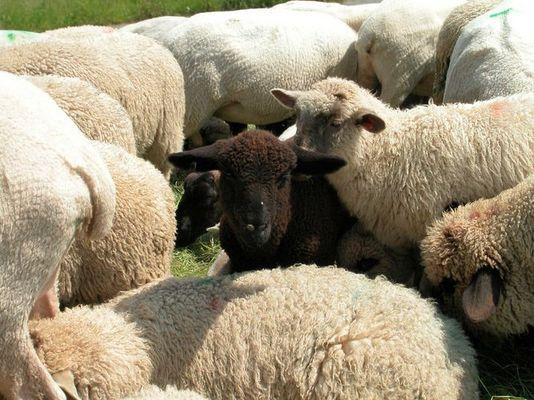 Das schwarze Schaf der Familie