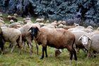 """Das """"schwarze Schaf"""" der Familie"""