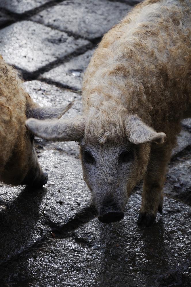 Das Schwein mit dem Namen Schnitzel