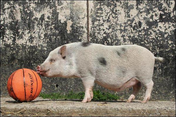 Das Schweini und die Megaorange