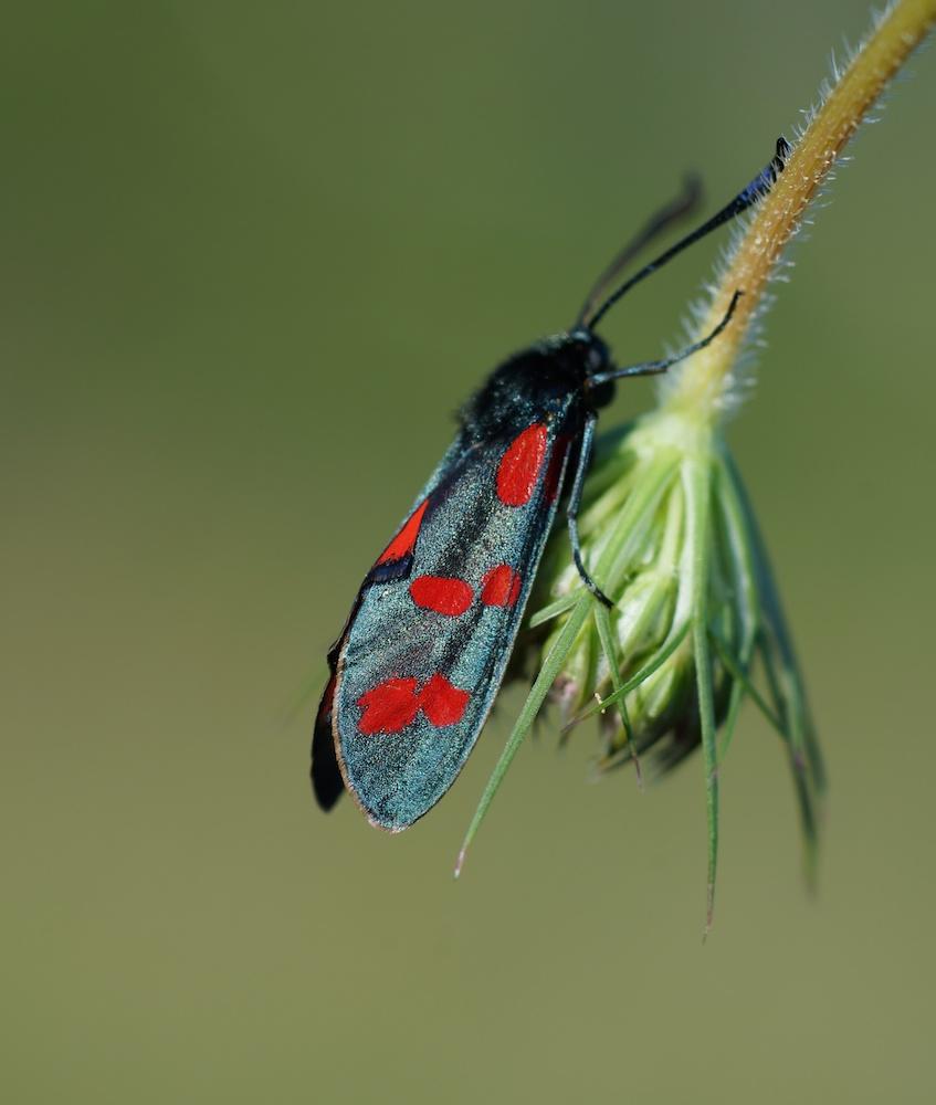 Das Sechsfleck-Widderchen (Zygaena filipendulae),