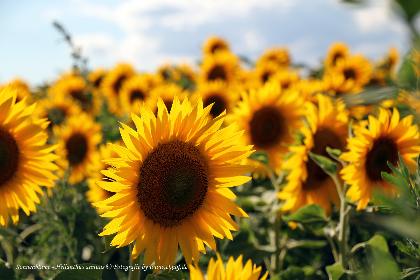 Das Sonnenblumenfeld