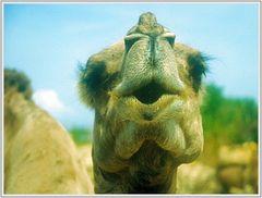 """Das sprechendes Kamel: """"Ho Ho ..."""""""