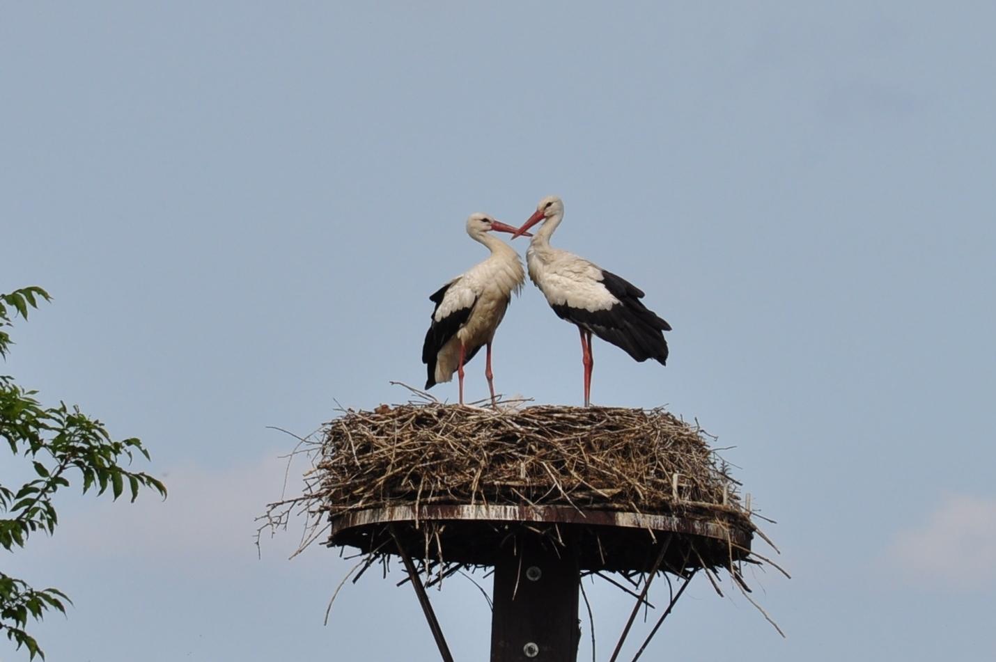Das Storchenpaar in der Disselmersch