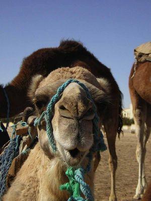 Das süße Kamel