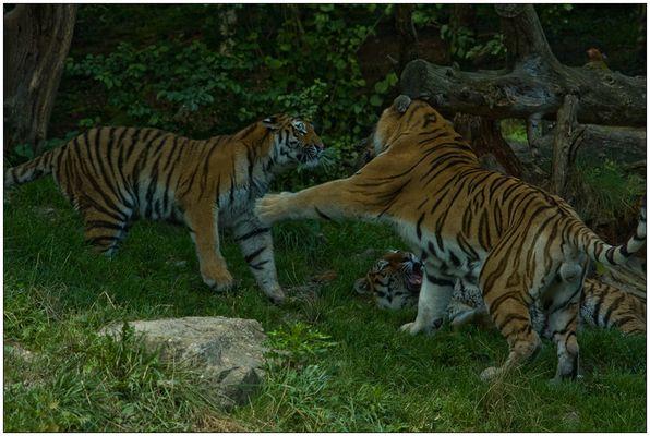 Das Tiger-Trio in Action