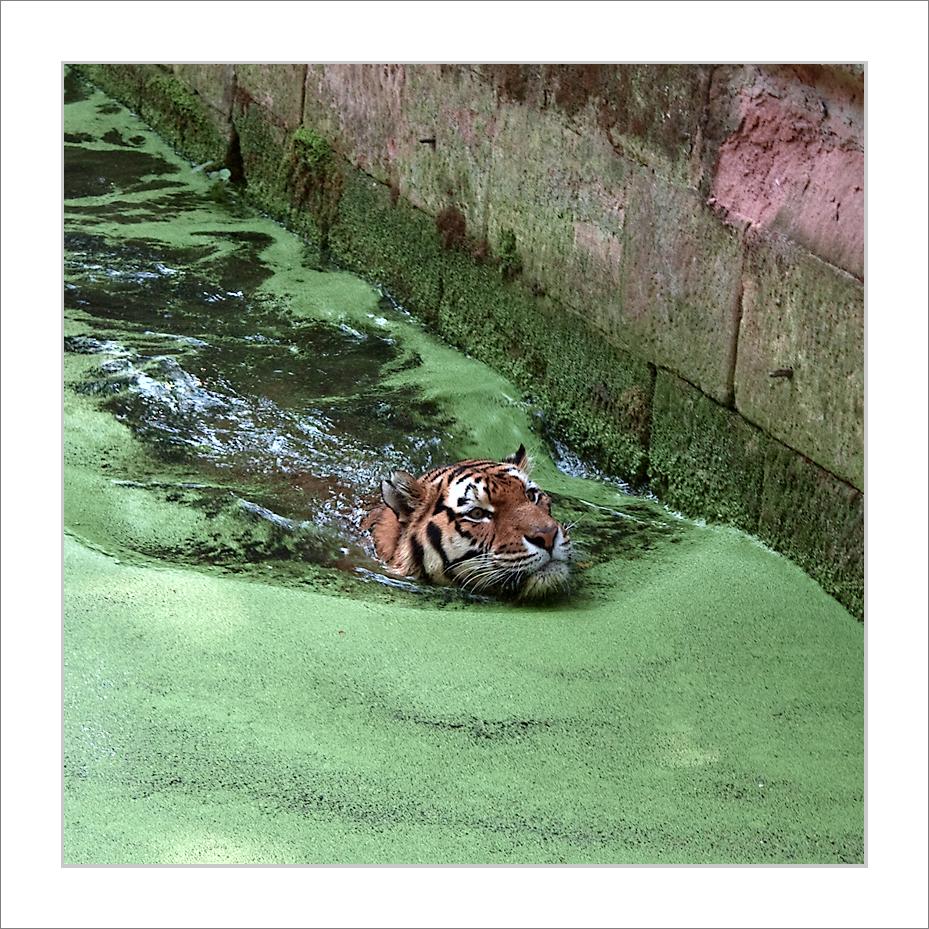 Das Tigerbad