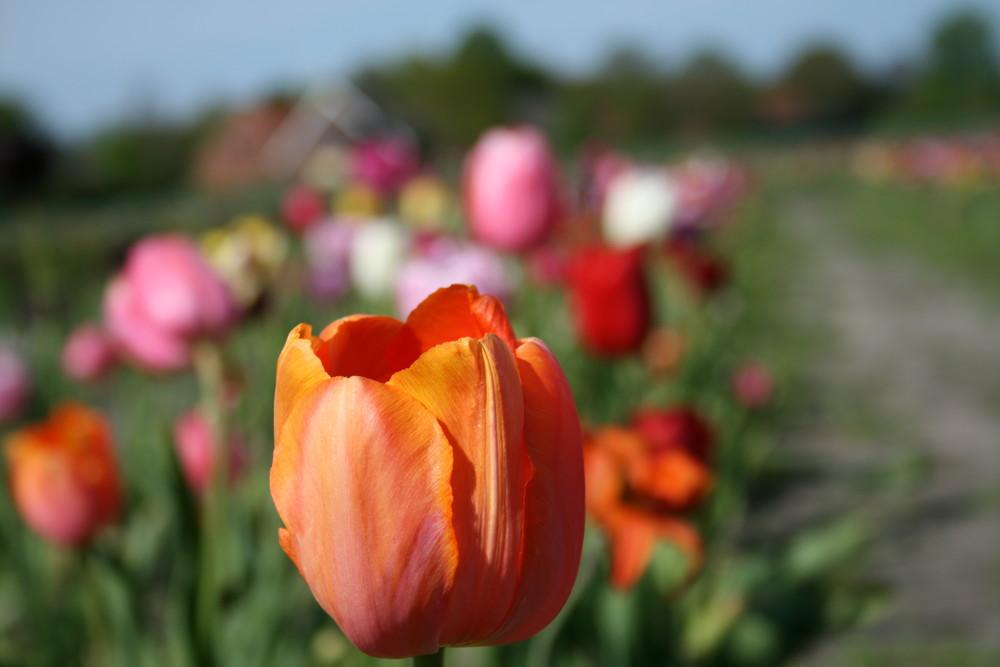 Das Tulpenfeld um die Ecke