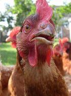 Das verstehe ein Huhn