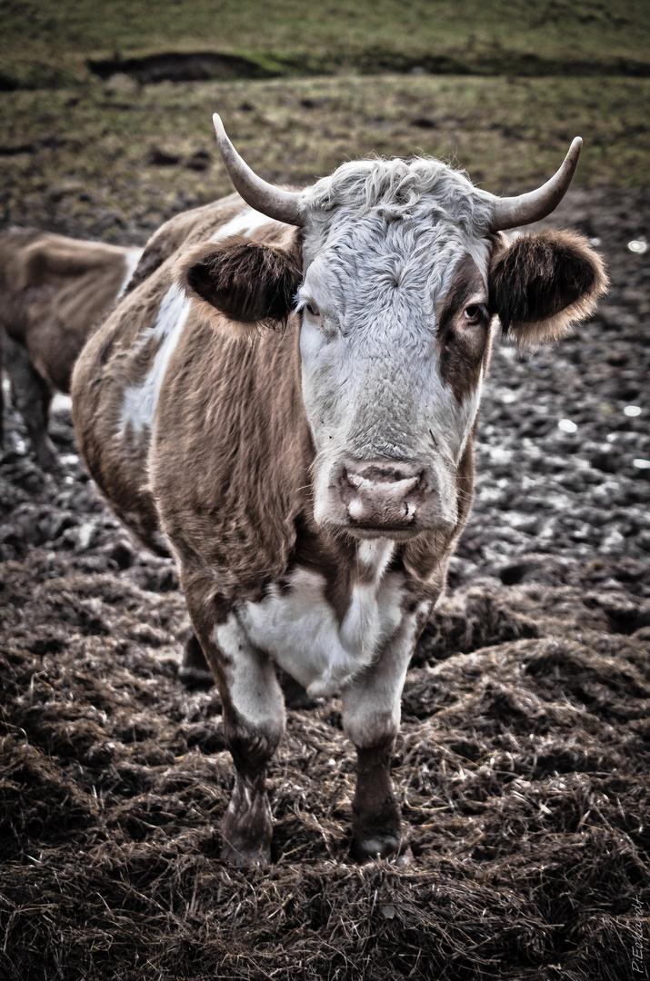 """""""Das Vieh"""""""
