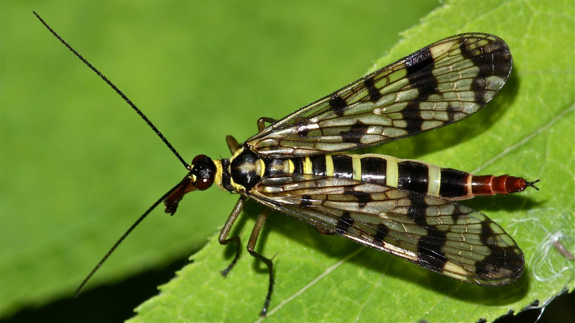 Das Weibchen der Gemeinen Skorpionsfliege (Panorpa communis)