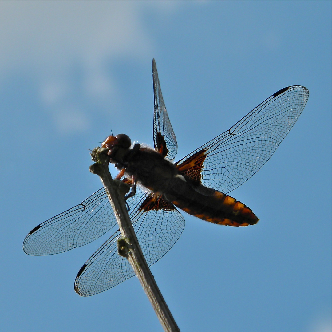 Das Weibchen der Plattbauchlibelle (Libellula depressa) gegen den Sommerhimmel . . .