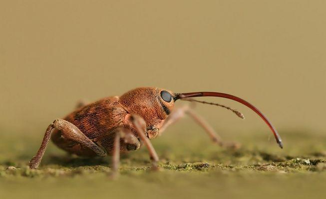 Das Weibchen vom Haselnußbohrer