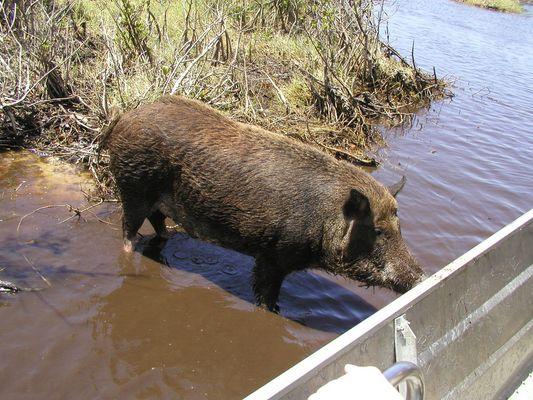 Das Wildschwein und sein Appetit auf Fisch (Everglades)