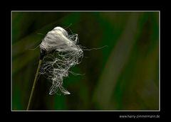 Das Wollgras blüht wieder