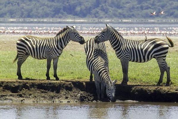 Das Zebra-Dreigestirn