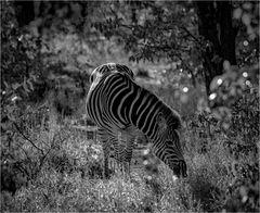 Das Zebra im Wald