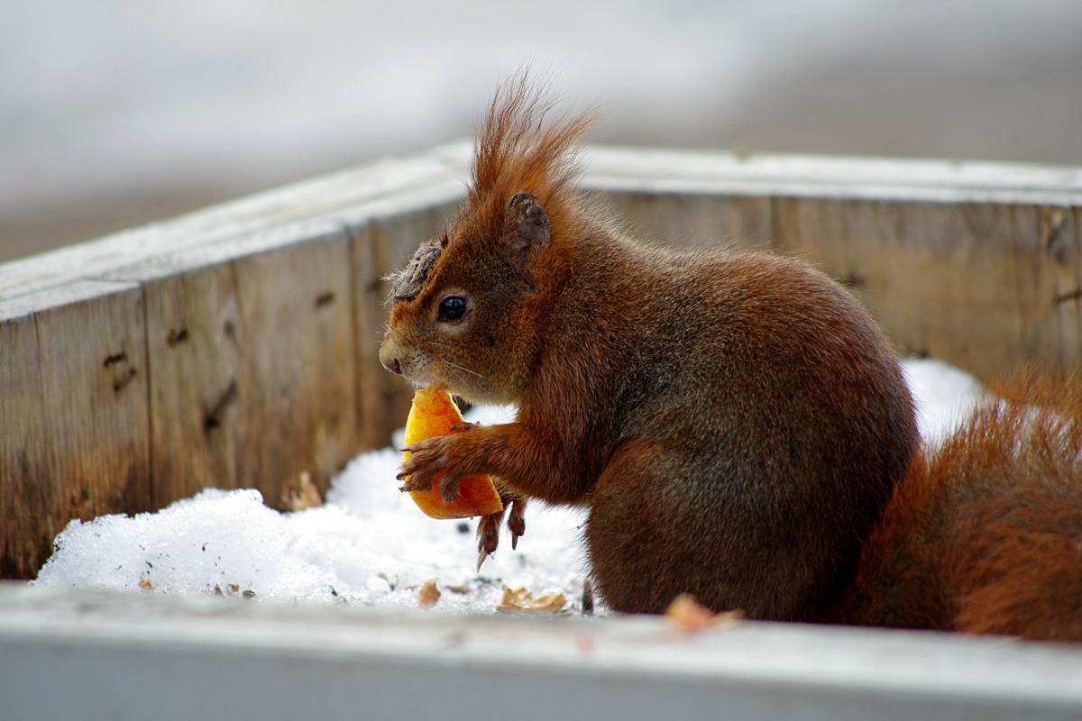 Das Zoo-Eichhörnchen