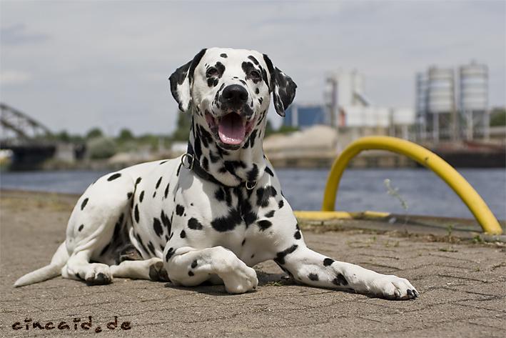 Dat Ollie - ein Dalmatiner III