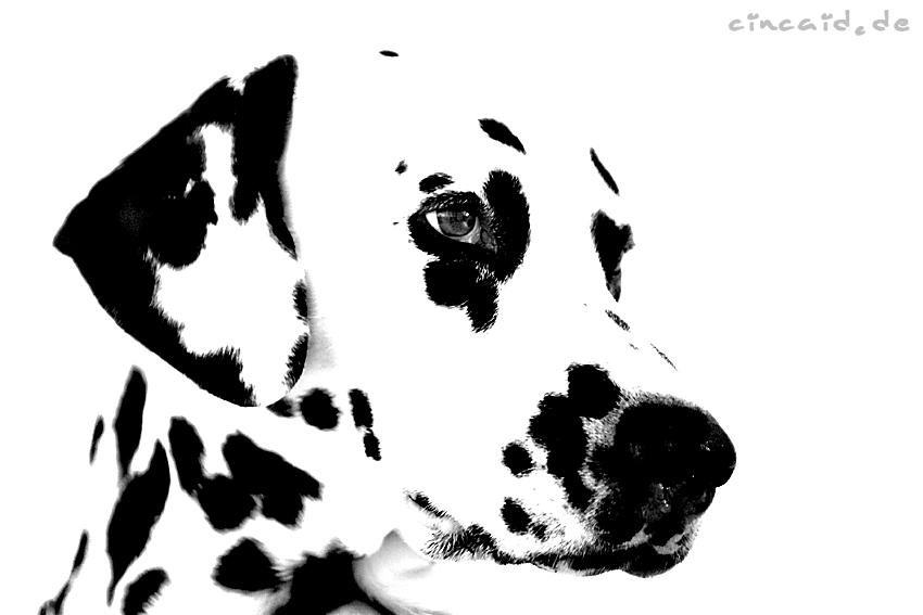 Dat Ollie - ein Dalmatiner V