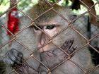 Daumenlutschender Affe