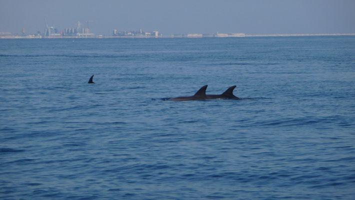 dauphins au large du cap d'agde