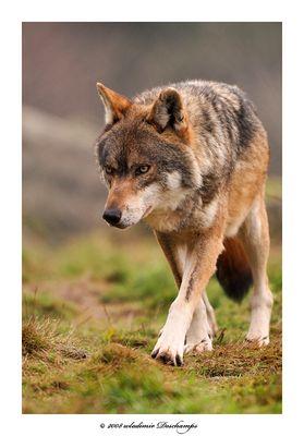 De face *** Un loup ***