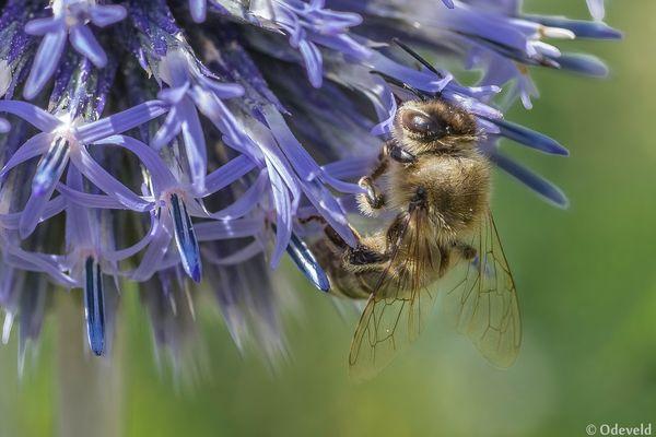 De honingbij (Apis mellifera).