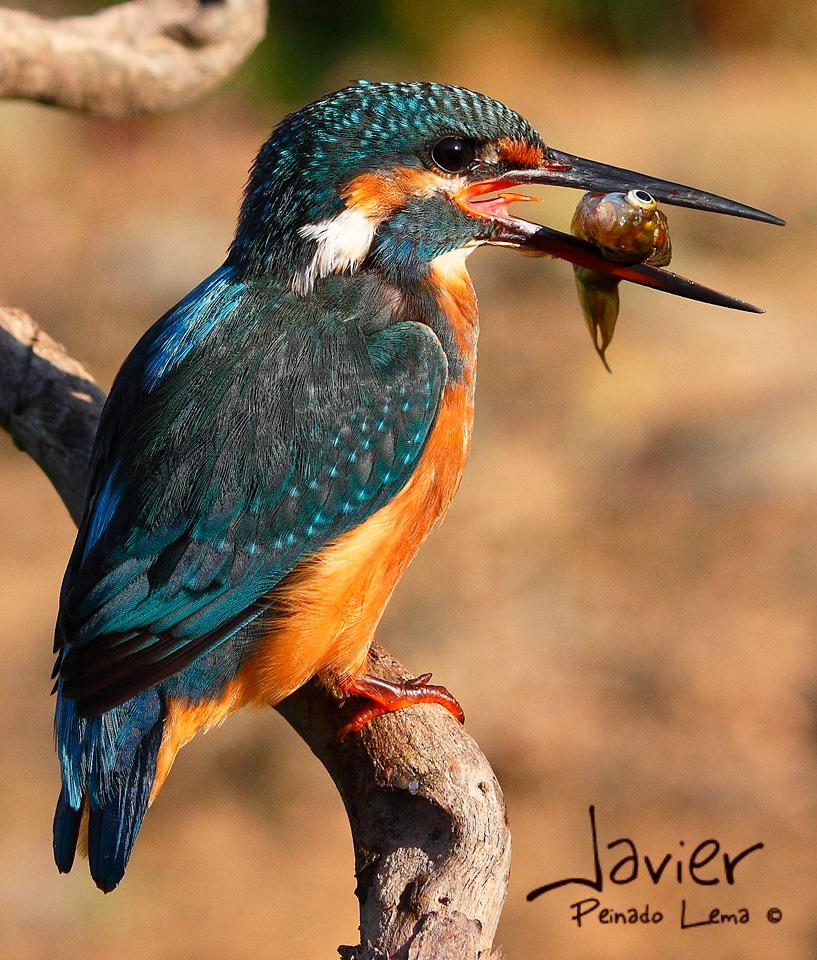 De primero, pescaito.... ( Martín Pescador)