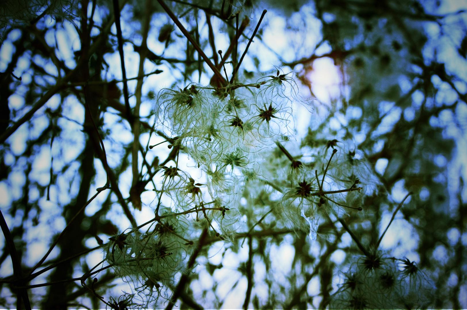 dead blossoms