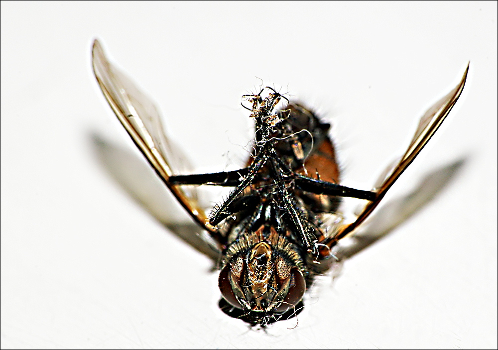Death Fly |
