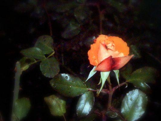 december rose. two.