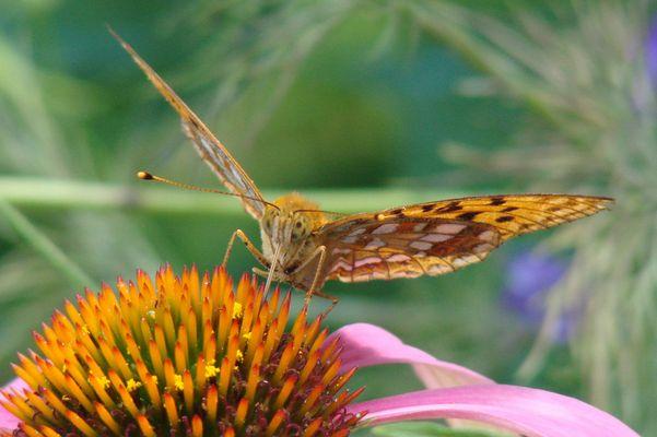 décolage du papillon
