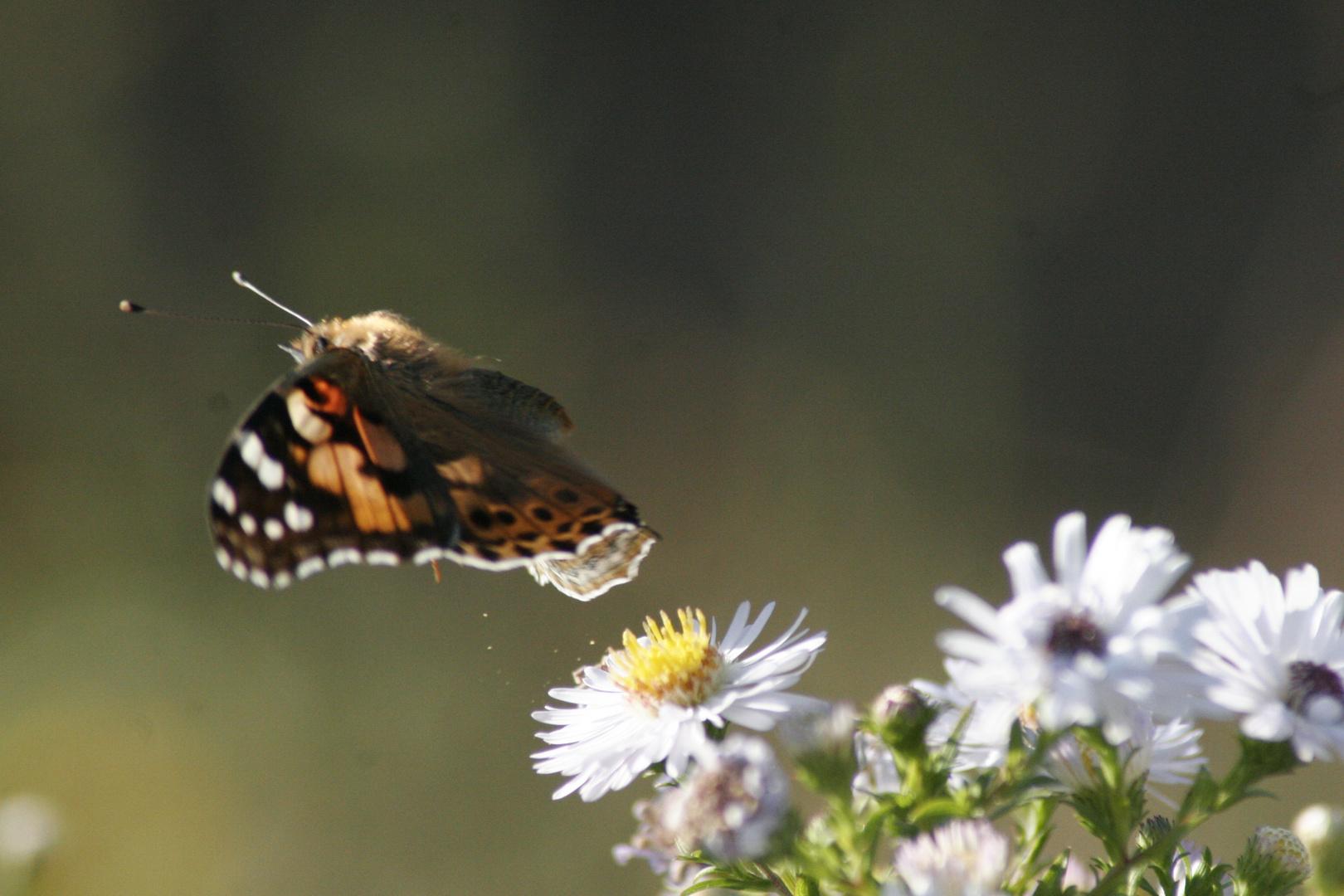 décolage papillon