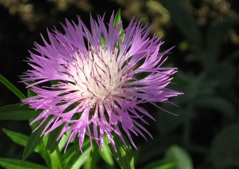 Decorative Thistle