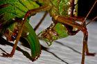 Decticus verrucivorus