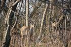 Deer bei Rocky Point