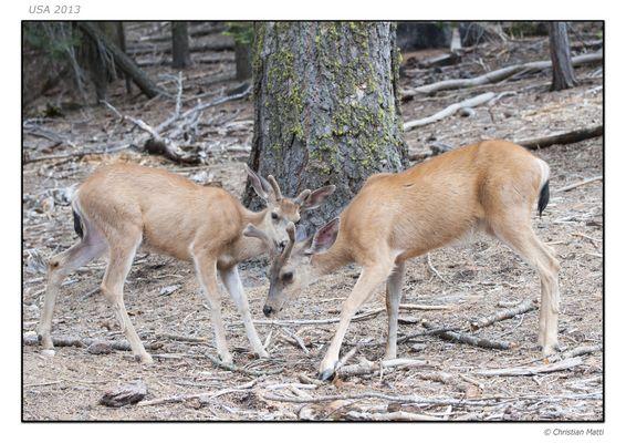 Deers Parc Yosemity