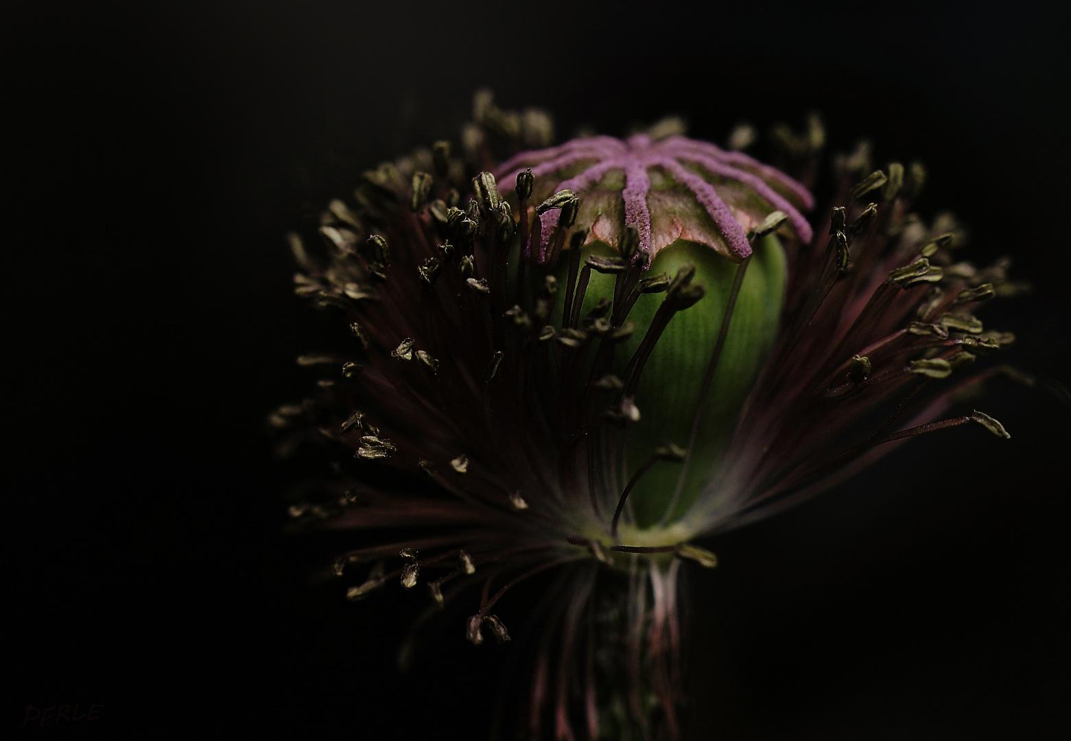 defoliated poppy