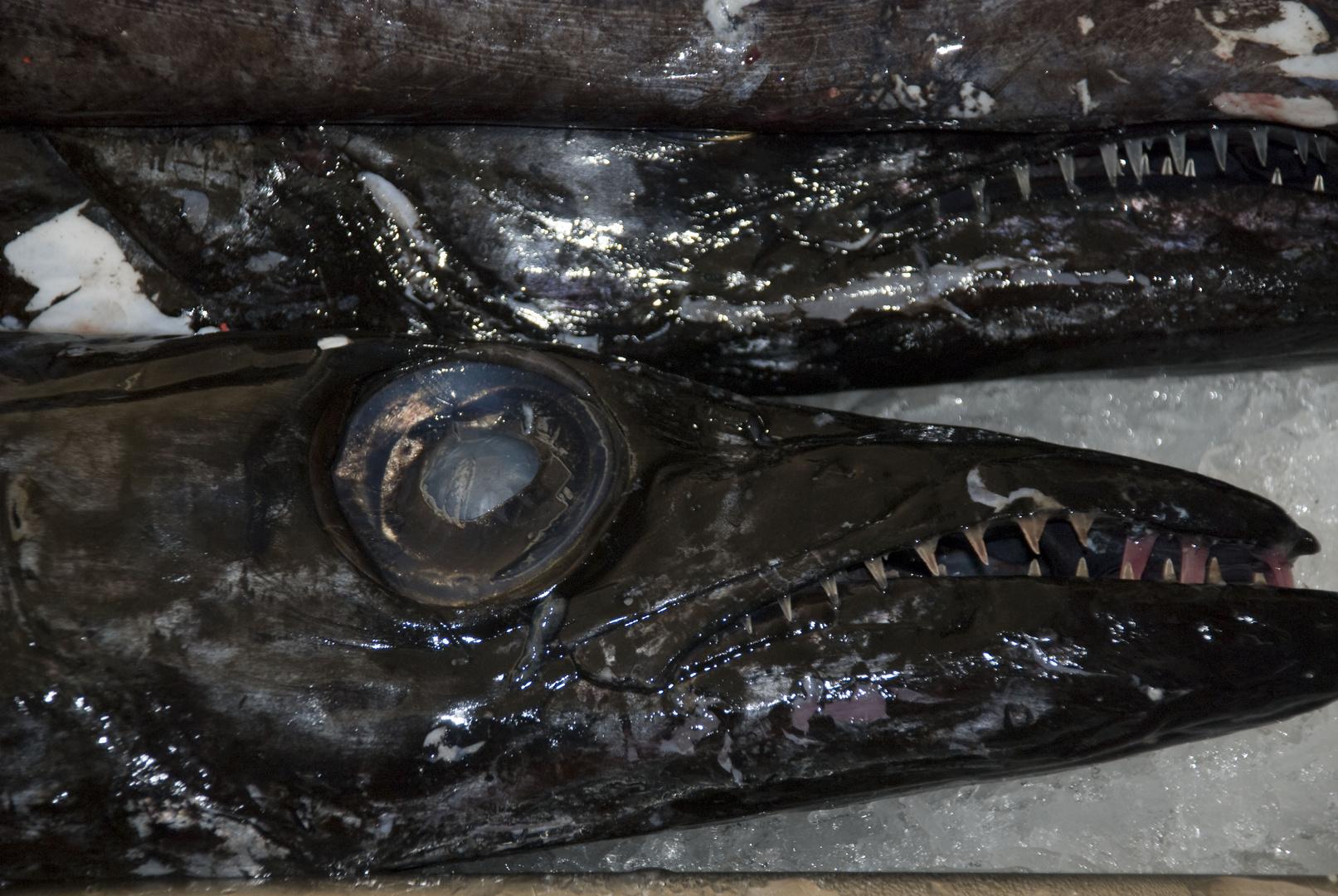 Degenfisch