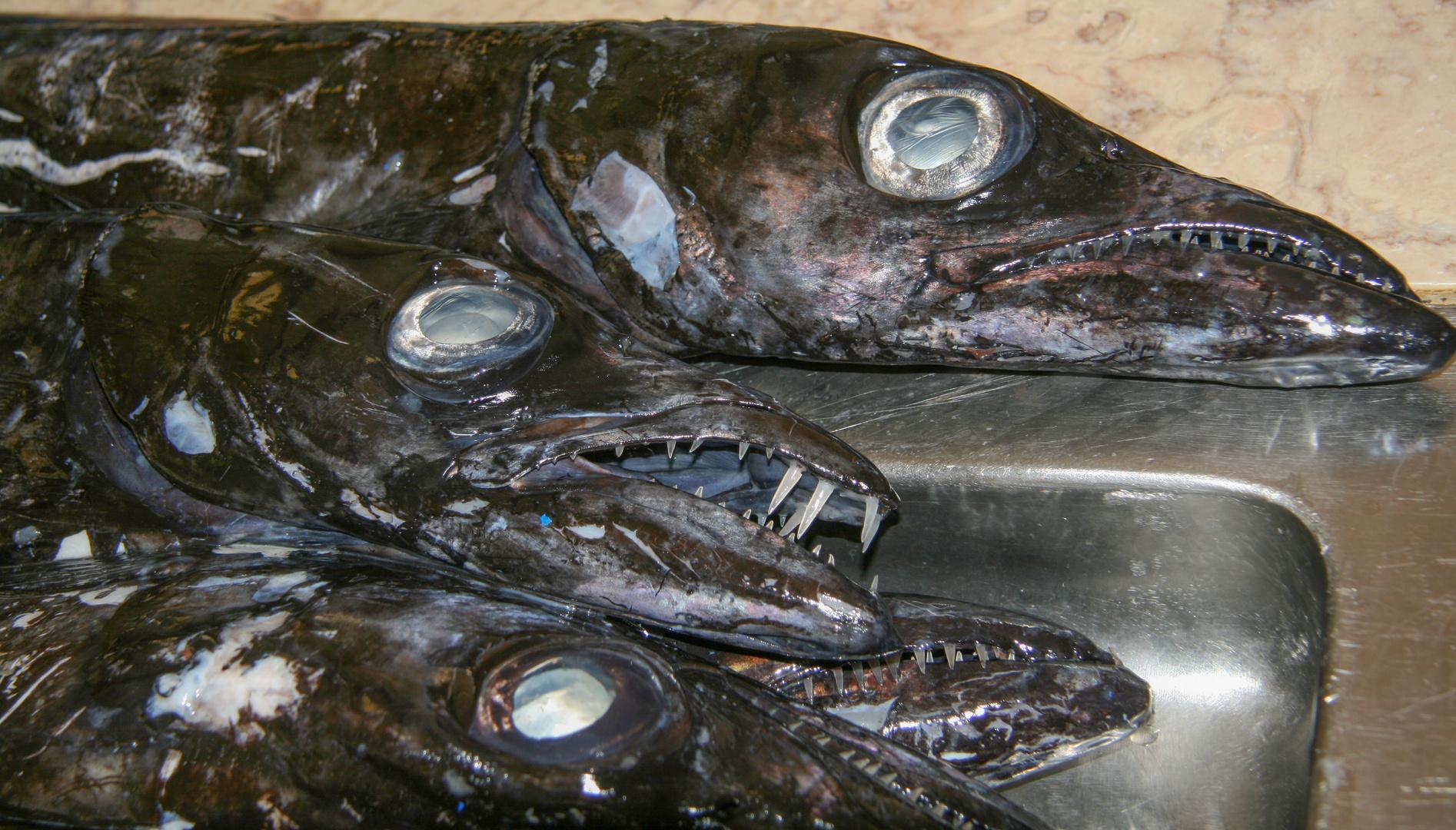 Degenfische aus den Tiefen des Atlantik