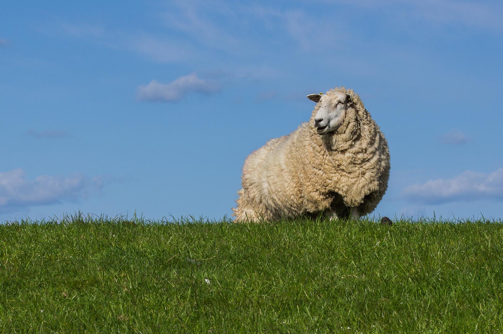 Deich-Schaf