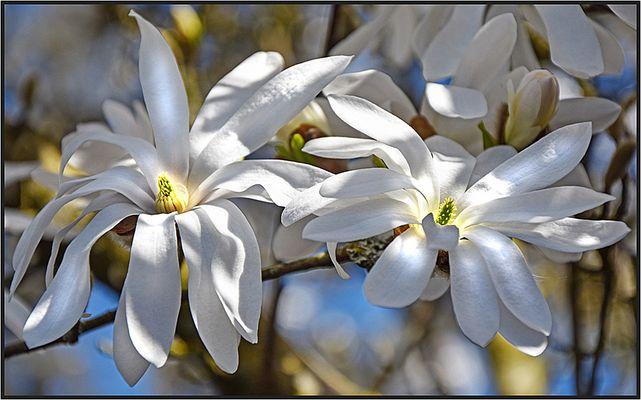 Deine Blüten sie leuchten...