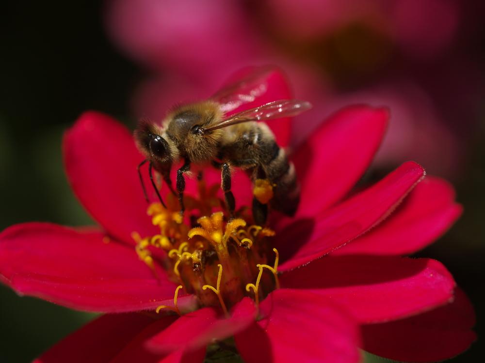 Déjeuner d une abeille