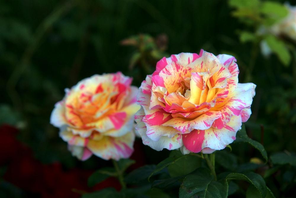 Delbard Rose- Claude Monet