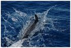 Delfin Atlantik