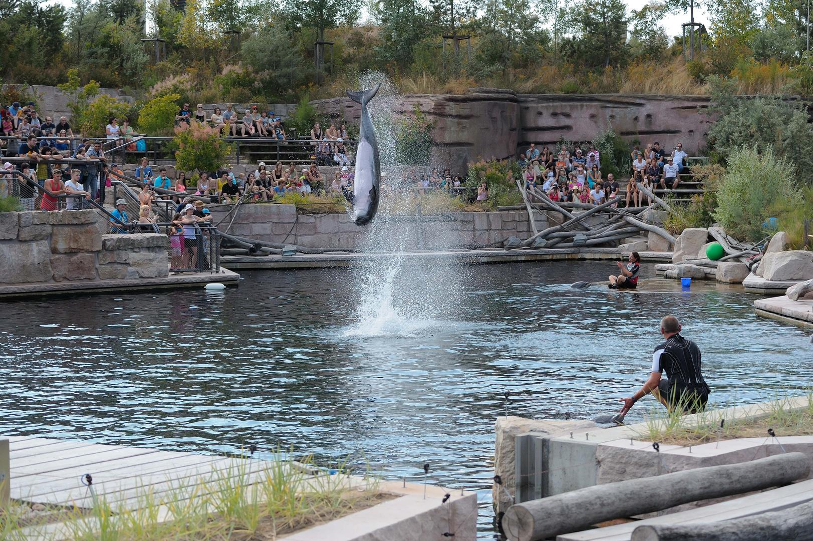 Delfin beim Salto