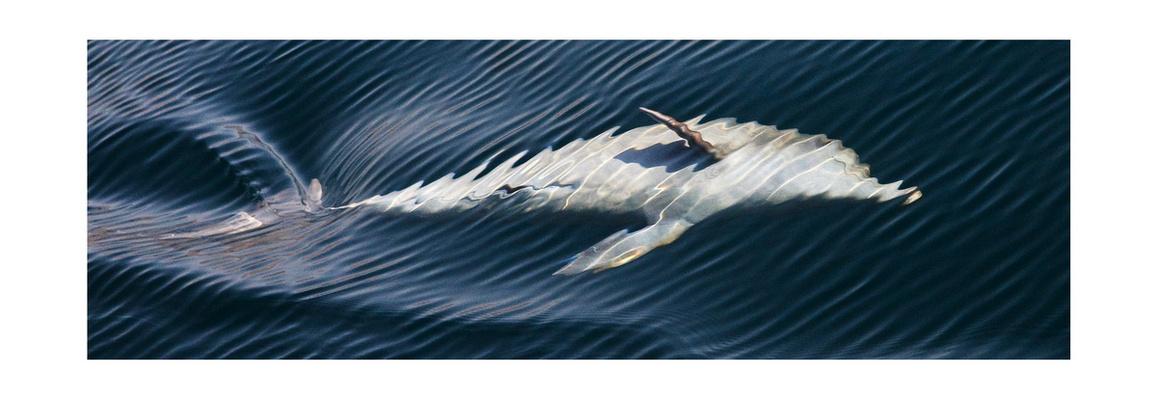 Delfin im Oman